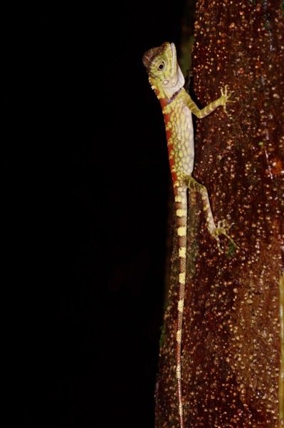 Borneo Angle-headed Lizard (Gonocephalus borneensis)