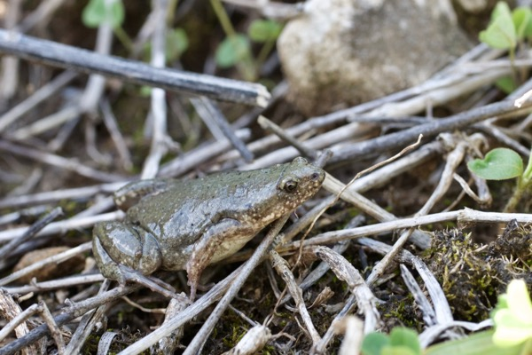 Western Narrow-mouthed Toad (Gastrophryne olivacea)