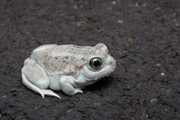 Great Basin Spadefoot (Spea intermontana)