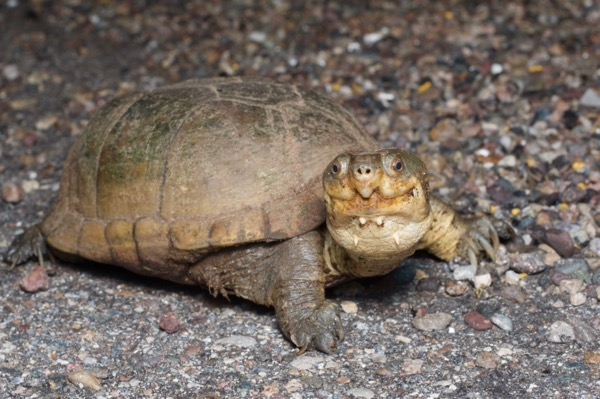Arizona Mud Turtle (Kinosternon arizonense)