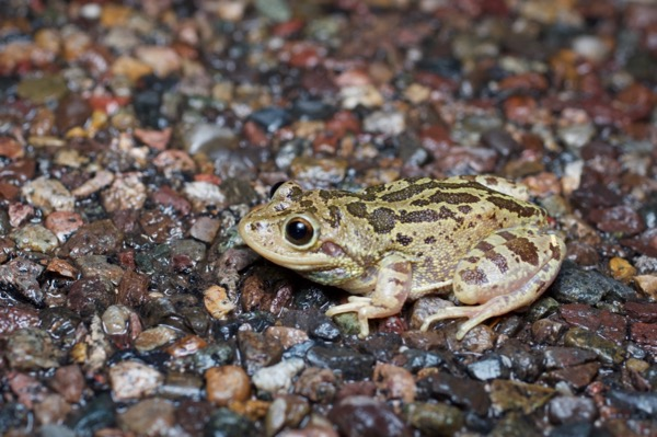 Lowland Burrowing Treefrog (Smilisca fodiens)