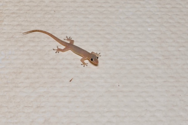 Common House Gecko (Hemidactylus frenatus)