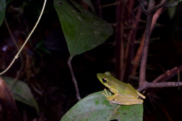 Jade-backed Stream Frog (Chalcorana raniceps)