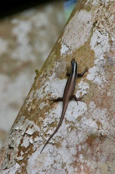 Striped Tree Skink (Dasia vittata)