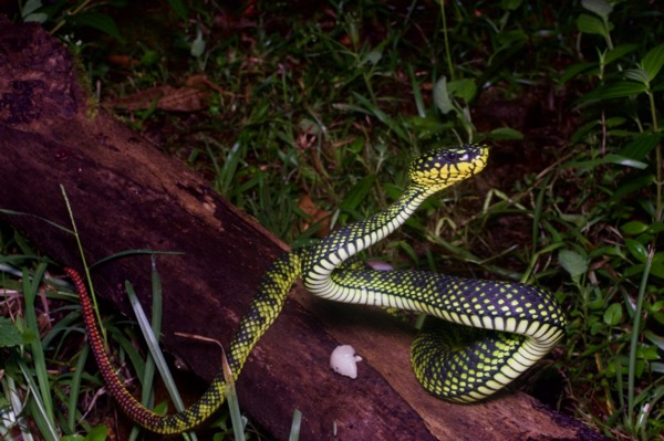 Smith's Mountain Pit Viper (Trimeresurus malcolmi)