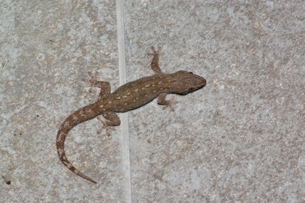 Wild Herps Common House Gecko Hemidactylus Frenatus