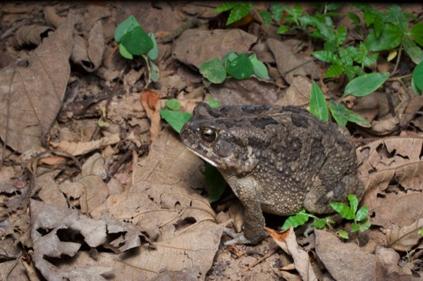 Flat-backed Toad (Sclerophrys maculata)