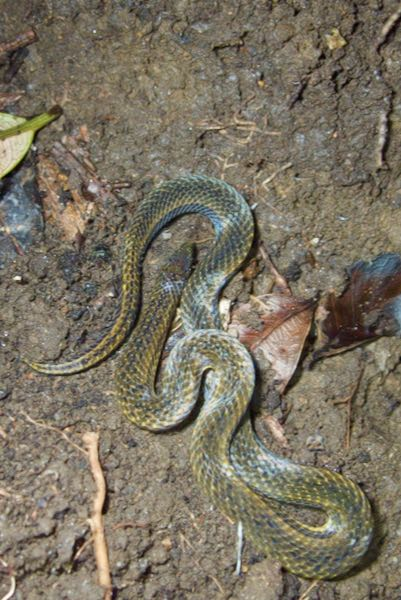 De Silva's Rough-sided Snake (Aspidura desilvai)
