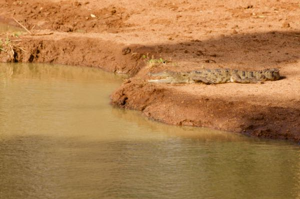 Mugger Crocodile (Crocodylus palustris)