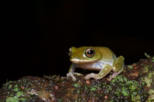 Golden-eyed Shrub Frog (Pseudophilautus ocularis)