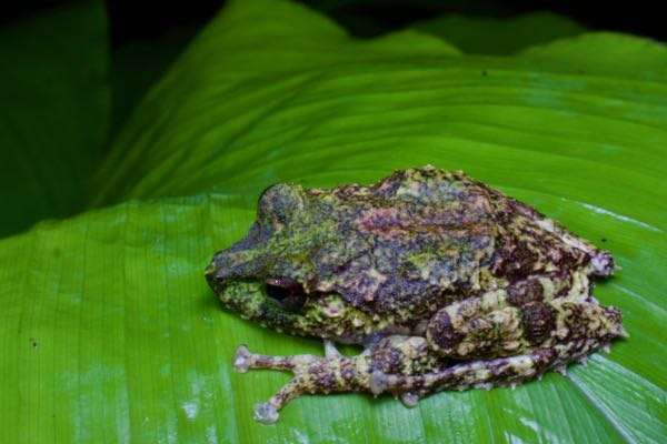 Hollow-snouted Shrub Frog (Pseudophilautus cavirostris)