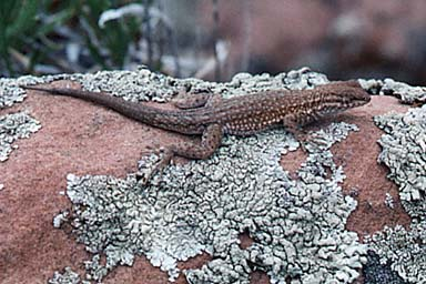 Northern Side-blotched Lizard (Uta stansburiana stansburiana)