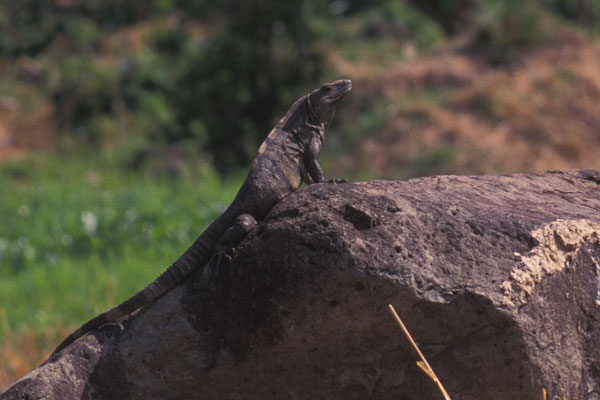 Gray's Spiny-tailed Iguana (Ctenosaura similis)