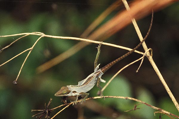 Green anole vs brown anole - photo#26