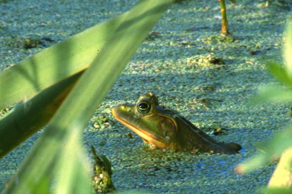 Everglades Amphibians - Lessons - Tes Teach